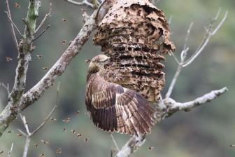 ツマアカスズメバチの天敵ハチクマ