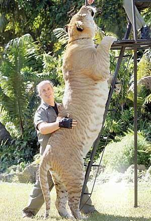 これは巨大な猛獣 ライガー